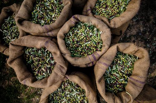 Raccolta olive, spremitura a freddo olive italiane, olio italiano